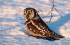 Northern Hawk Owl after prey (missed)