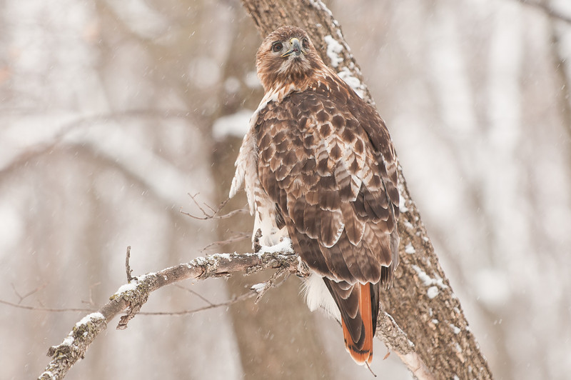 ART-11008: Red-Tailed Hawk (Bueto Jamaicensis)