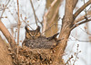 AGH-9060: Great Horned Owl on nest (Bubo virginianus)