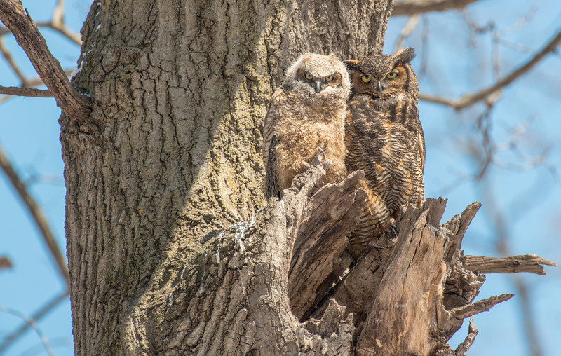 Owls at nest site