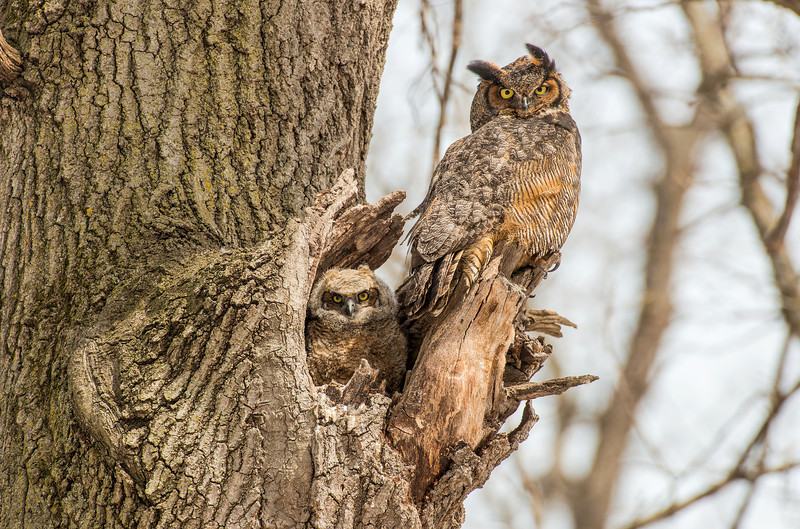 Great Horned adult and Owlet