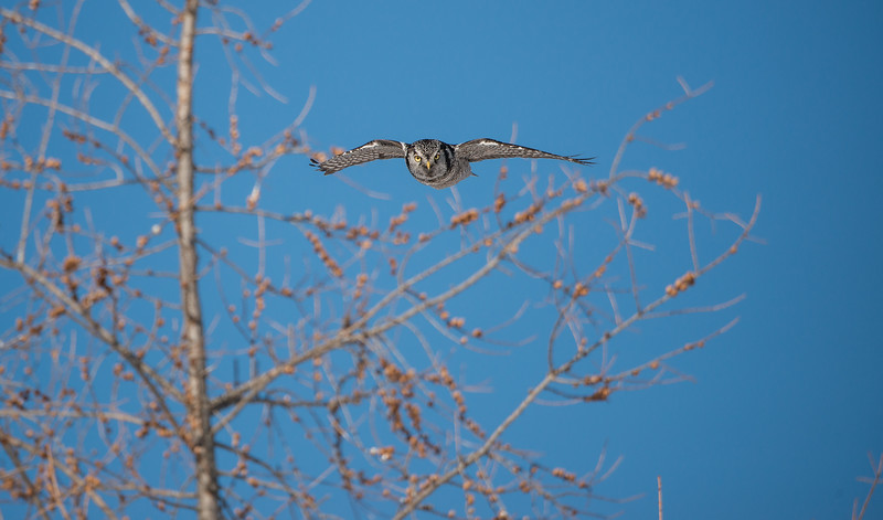 Northern Hawk Owl heading for perch