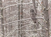 Great Gray Owl in January snow fall