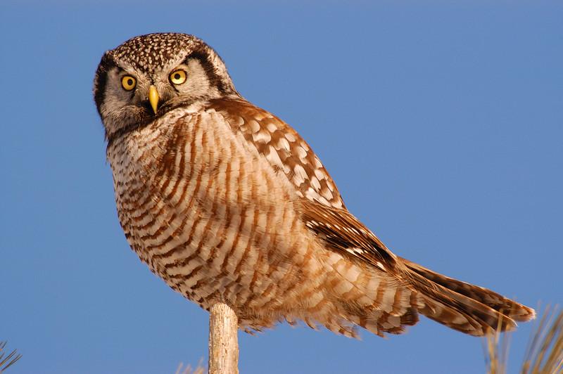 ANH-5032: Hawk owl stare (Surnia ulula)