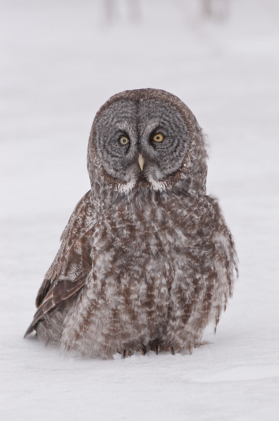 AGG-50113: Great Gray Owl (Strix nebulosa)