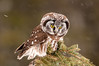 ARPT-13-73: Boreal Owl hunting (Aegolius funereus)