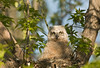 AGH-9129: Great Horned Owl owlete (Bubo virginianus)