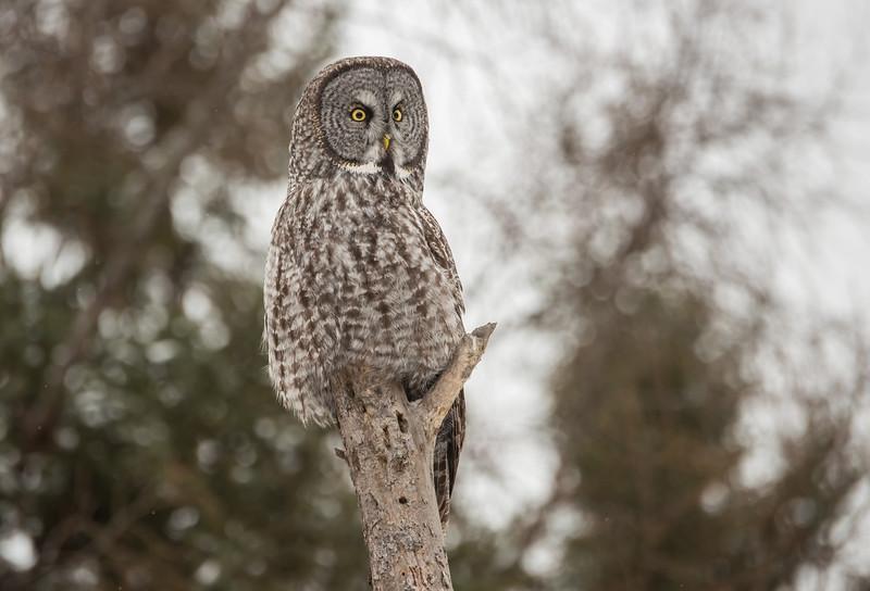 Great Gray Owl in Sax-Zim bog