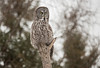 Great Gray Owl in Sax-Zim bog