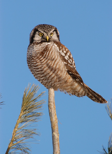 ANH-5026: Northern Hawk Owl on perch (Surnia ulula)