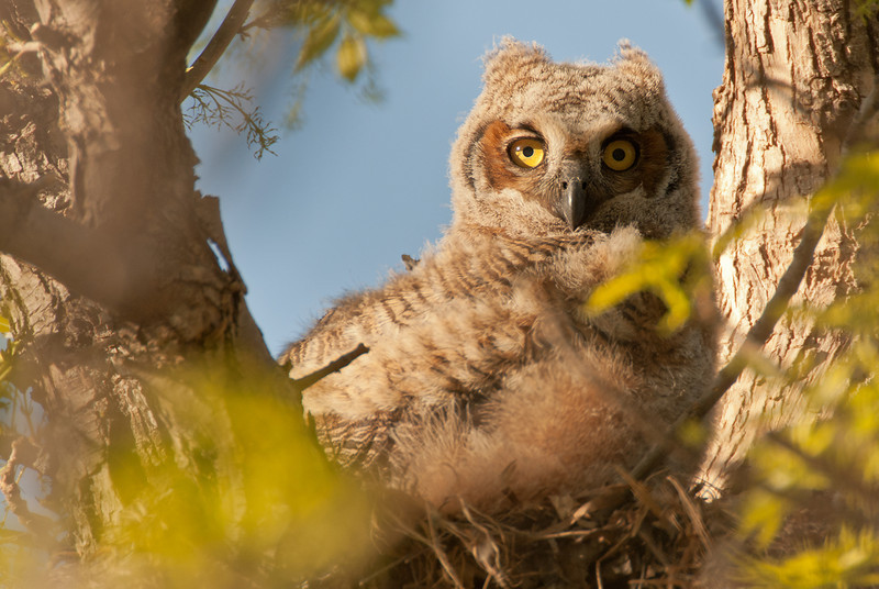 AGH-11003: Great Horned Owlette