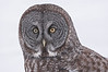 AGG-50118: Great Gray Owl portrait (Strix nebulosa)