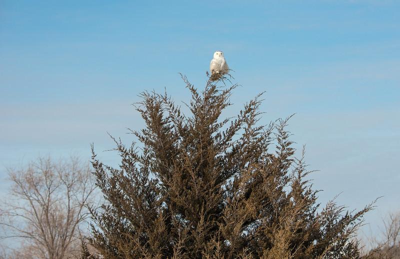 Snowy Owl on Cedar Tree