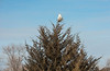 Snowy Owl on Cedar Tree