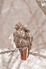 ART-11003: Red-Tailed Hawk in falling snow (Buteo jamaicensis)