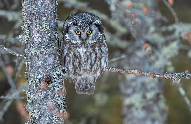 Boreal Owl in Sax-Zim Bog