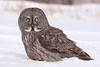 AGG-50134: Great Gray Owl (Strix nebulosa)