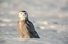 Alert Snowy Owl