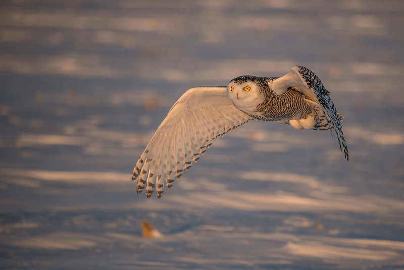 Snowy Owl in evening light