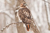 ART-11009: Red-Tailed Hawk in falling snow (Bueto Jamaicensis)