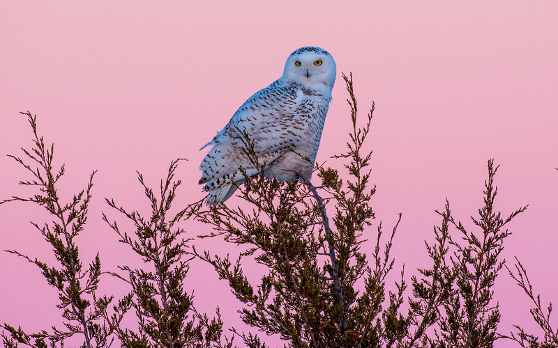 Snowy on Cedar Tree at twilight