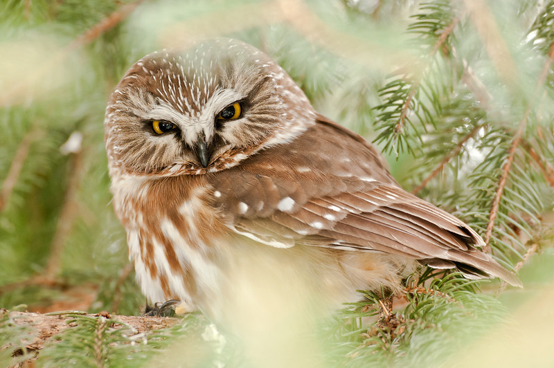 ART-12013: Northern Saw-whet Owl (Aegolius acadicus)