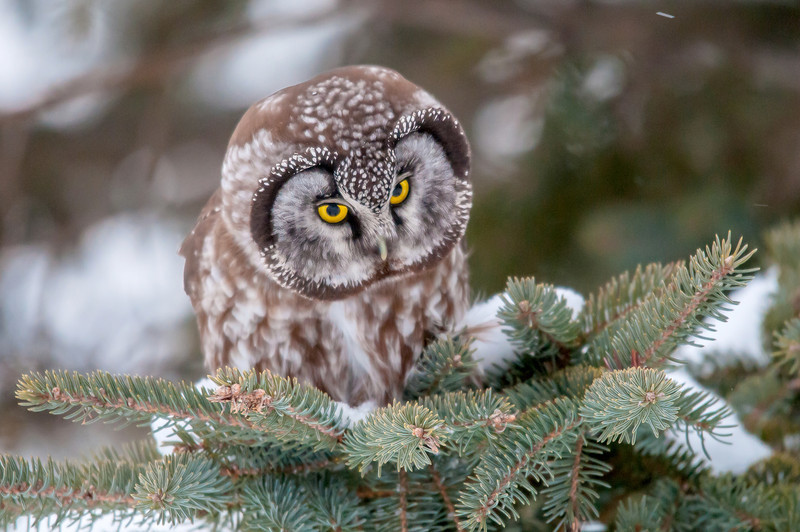 ARPT-13-95: Hunting Boreal Owl (Aegolius funereus)