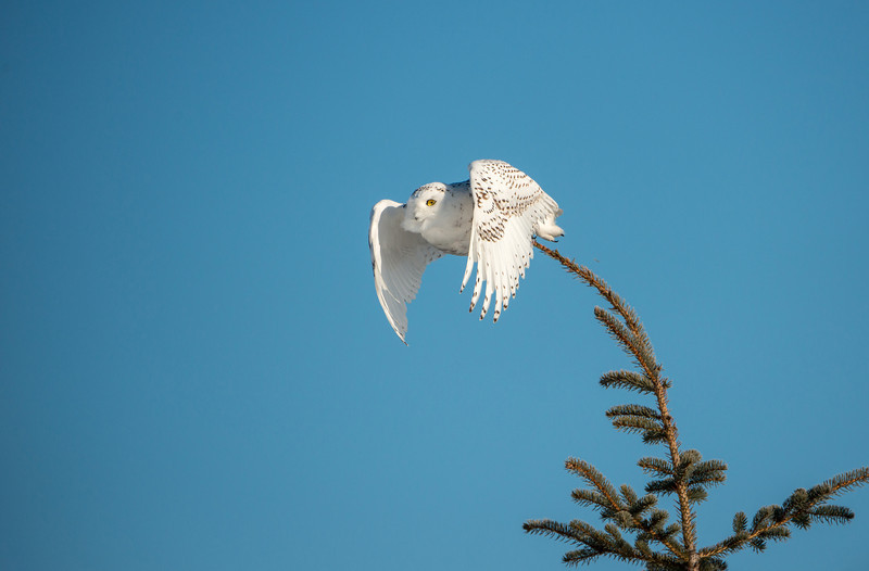 Snowy Owl after prey