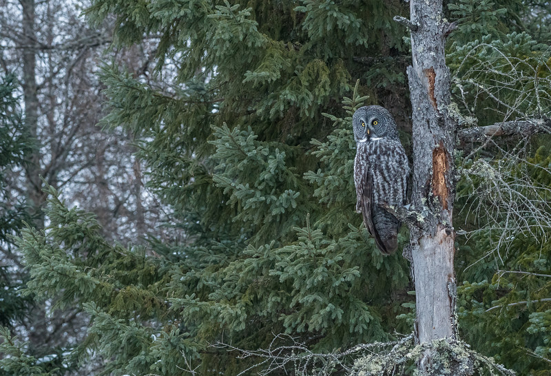 Great Gray Owl in forest