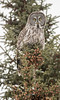 Great Gray Owl on pine perch