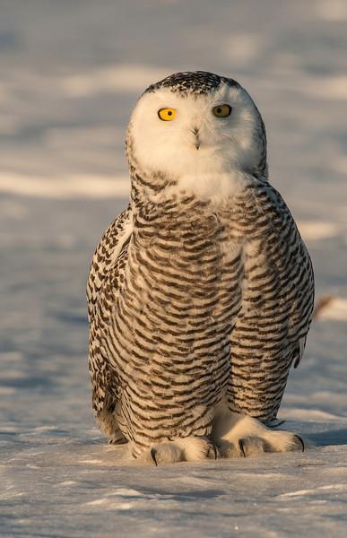 Snowy Owl on the prairie