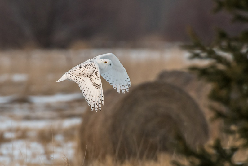 Snowy owl on the wing