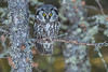 Boreal Owl is Spruce perch