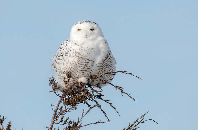 Perched Snowy Owl