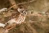ARPT-13-129: Hunting Boreal Owl (Aegolius funereus)