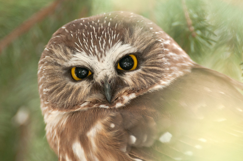 ART-12036: Northern Saw-whet Owl portrait (Aegolius acadicus)