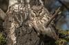 Boreal Owl in Aspen