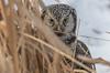 Peeking through the cattails
