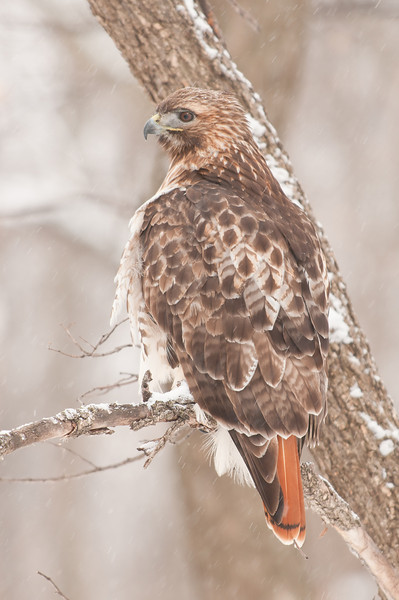 ART-11007: Red-Tailed Hawk (Bueto jamaicensis)