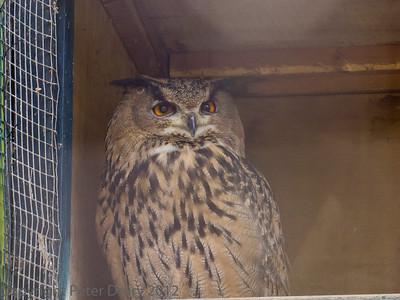 Owls  (Strigiformes)