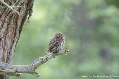 Austral Pygmy Owl - Tierra del Fuego NP, Argentina