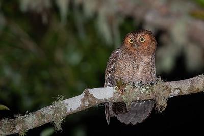 Bare-shanked Screech-Owl - Cartago, Costa Rica