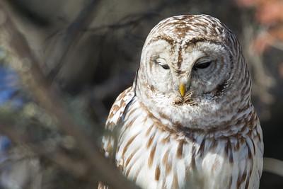 Barred Owl - Duluth, MN, USA