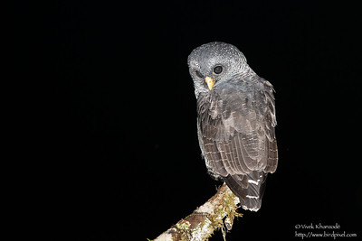 Black-banded Owl - San Isidro Lodge, Ecuador