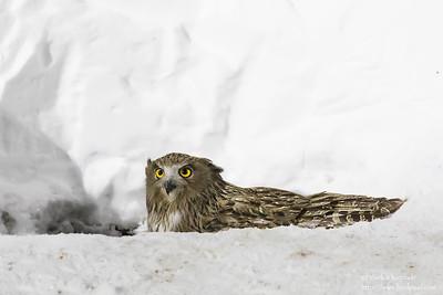 Blakiston's Fish Owl - Hokkaido, Japan