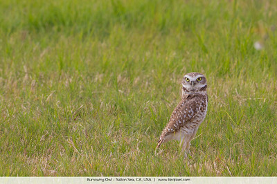 Burrowing Owl - Salton Sea, CA, USA