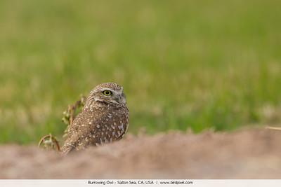Burrowing Owl - Salton Sea, CA, USA