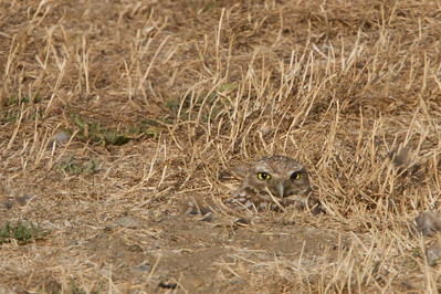 Burrowing Owl -  Shoreline Lake, Mountain View, CA, USA