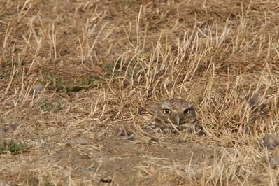 Burrowing Owl -  Shoreline Lake, Mountain View, CA, USA