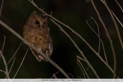 Cinnamon Screech-Owl - Peru